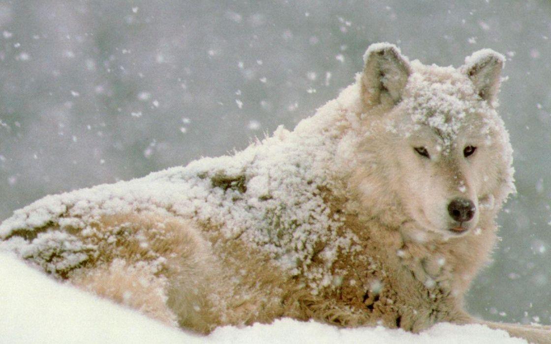 lobo blanco canido animales depredador wallpaper