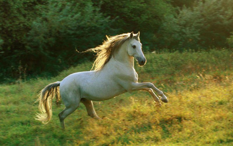 caballo blanco galope pradera animales wallpaper