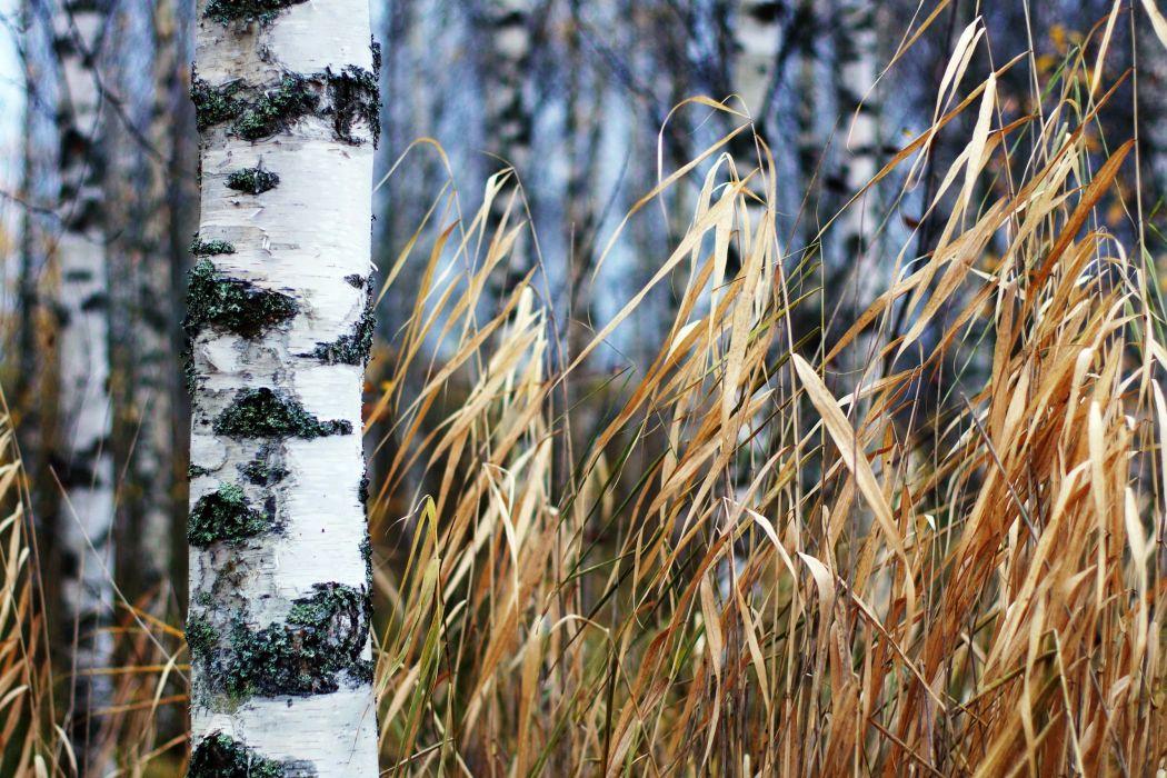 Trees Trunk tree Birch wallpaper