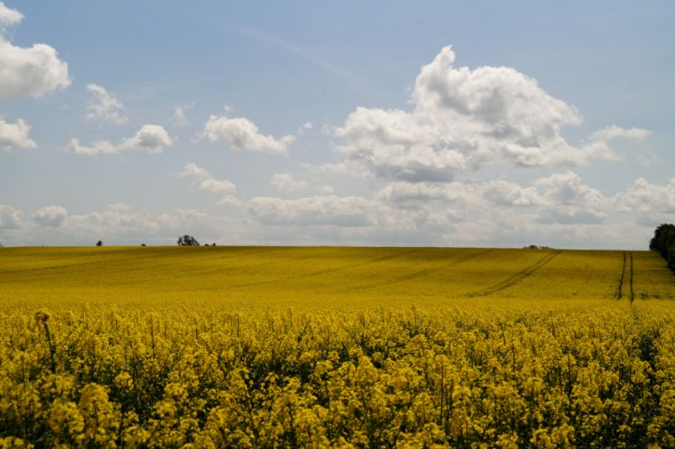 Scenery Fields Rapeseed Sky Nature wallpaper