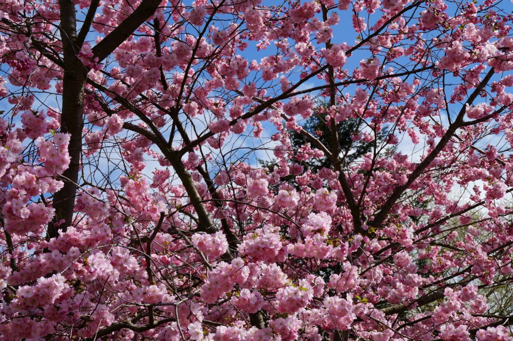 Flowering trees Closeup Branches Nature wallpaper