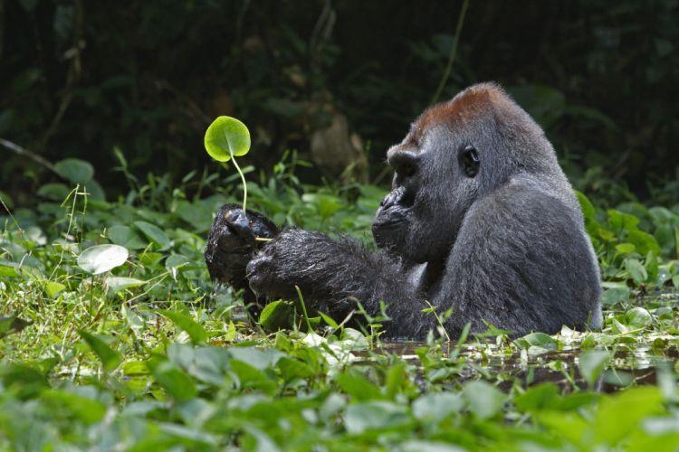 gorila selva simio animales wallpaper