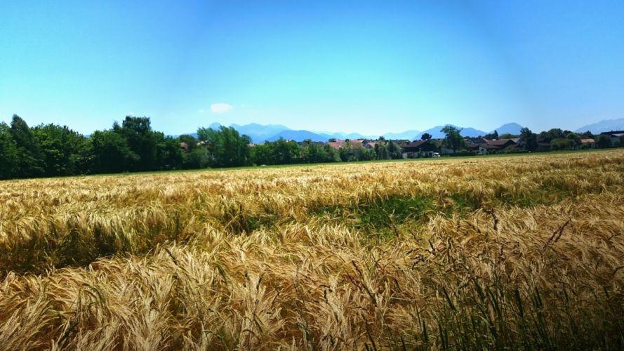 campo trigo naturaleza wallpaper