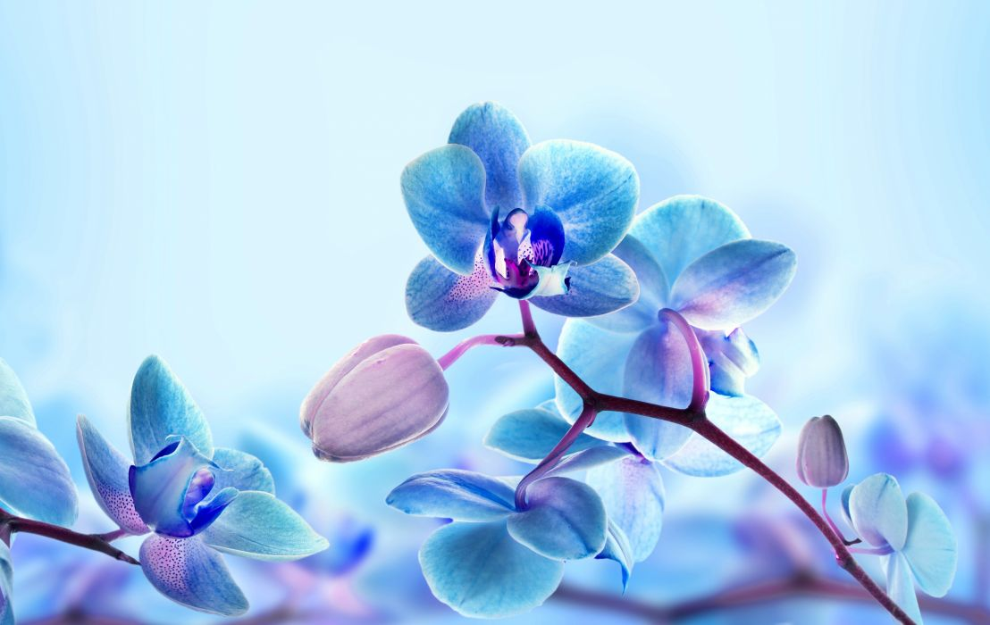 ahlias Closeup Pink color Flower-bud Flowers wallpaper