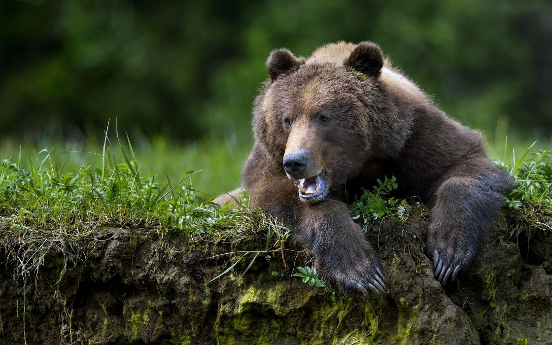 ears Brown Bear g wallpaper