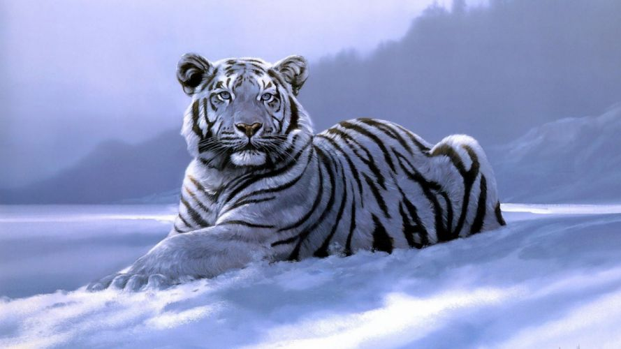 art big fantasy laying photos Siberian Tiger snow White Tigers Wild Cat winter wintertime wallpaper
