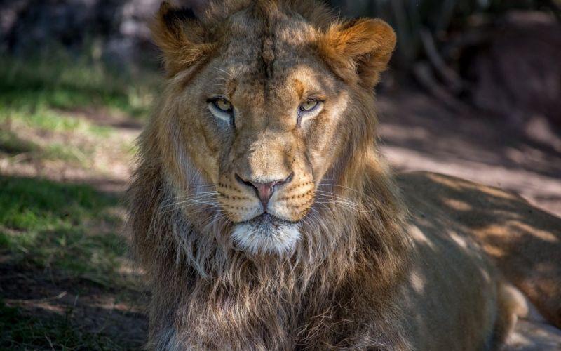 Africa animals hd lion mane muzzle photo wild wallpaper
