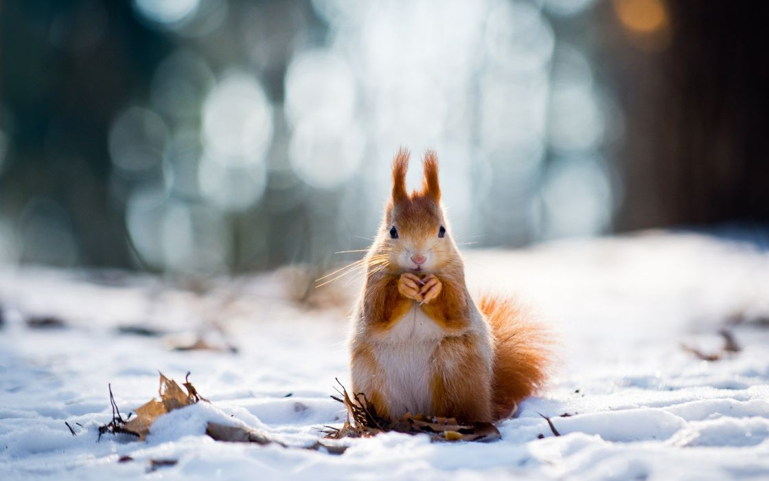 animal bokeh forest ice laves little squirrel lovely nature photo red squirrel snow squirrel standing white wild winter wallpaper