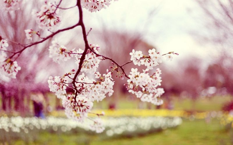 beautiful beauty bloom blossoms trees blur bokeh branch buds cherries blossoms cherries trees cherry cherry blossoms flower flowers macro natural photography nature photos petals photo purple spring wallpaper