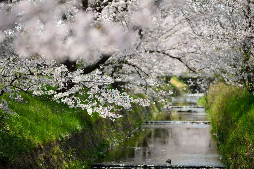 beautiful beauty blossoms walks canal canals treescherry blossomflowers green hd hd wallpaper japan leaf leaves nature osaka photo places sakura season spring  wallpaper