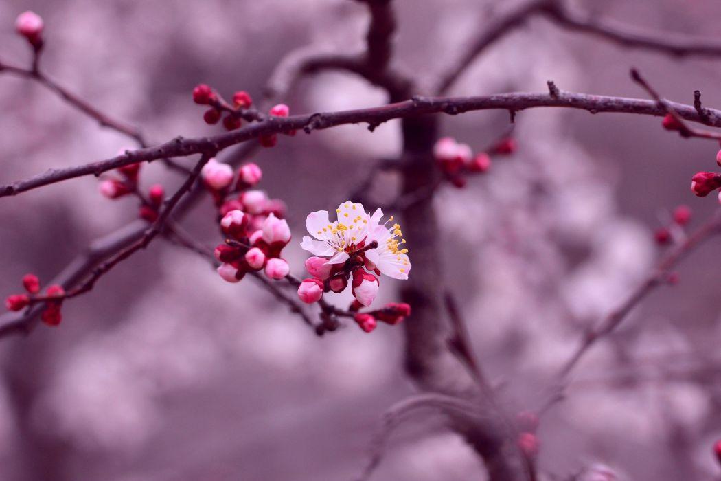 background beauty bloom blur branch bud buds cherry blossom flower flowers macro nature petals pink purple sakura season spring tree white white pink cherry blossom wallpaper