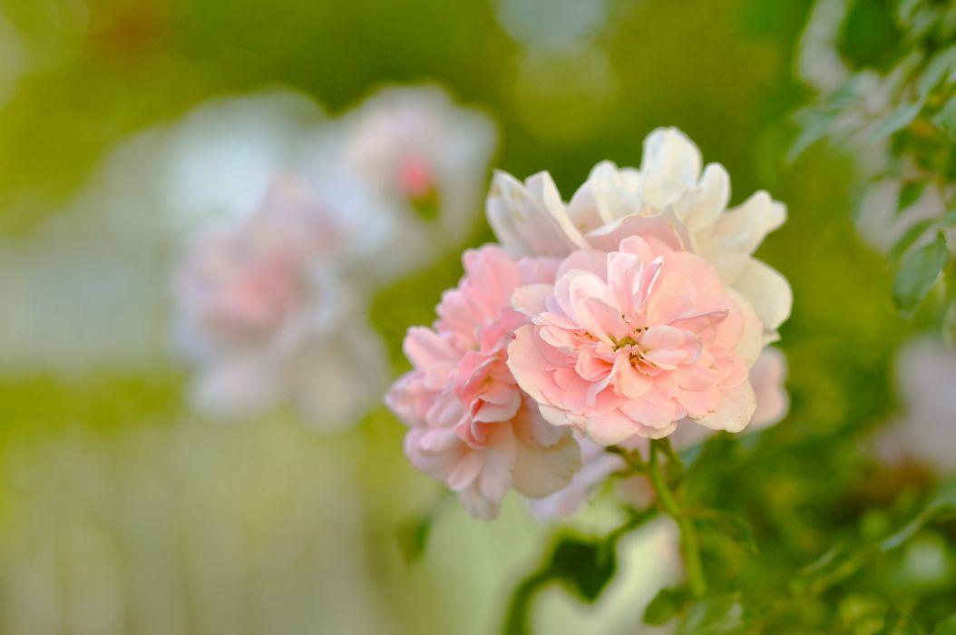 beauty blurring buds bush flowers garden green greens leaves macro nature petals pink rose tenderness wallpaper