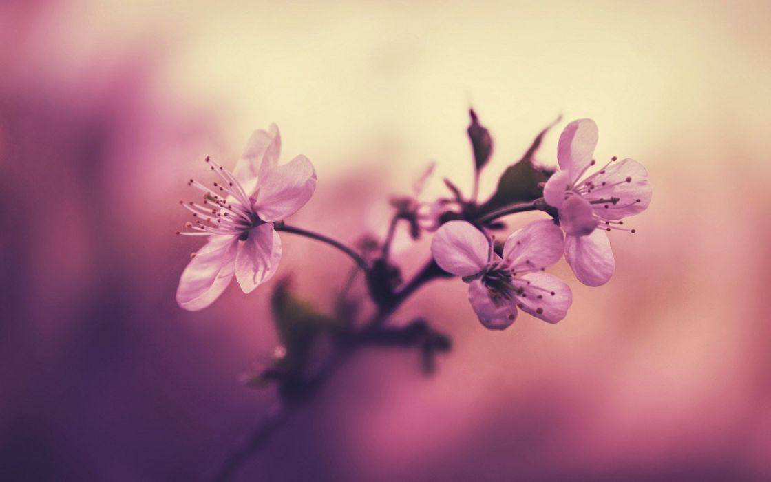 Beauty Bloom Branch Cherry Blossom Blossoms Flowers Focus Fower Japan Leaves Macro March Nature