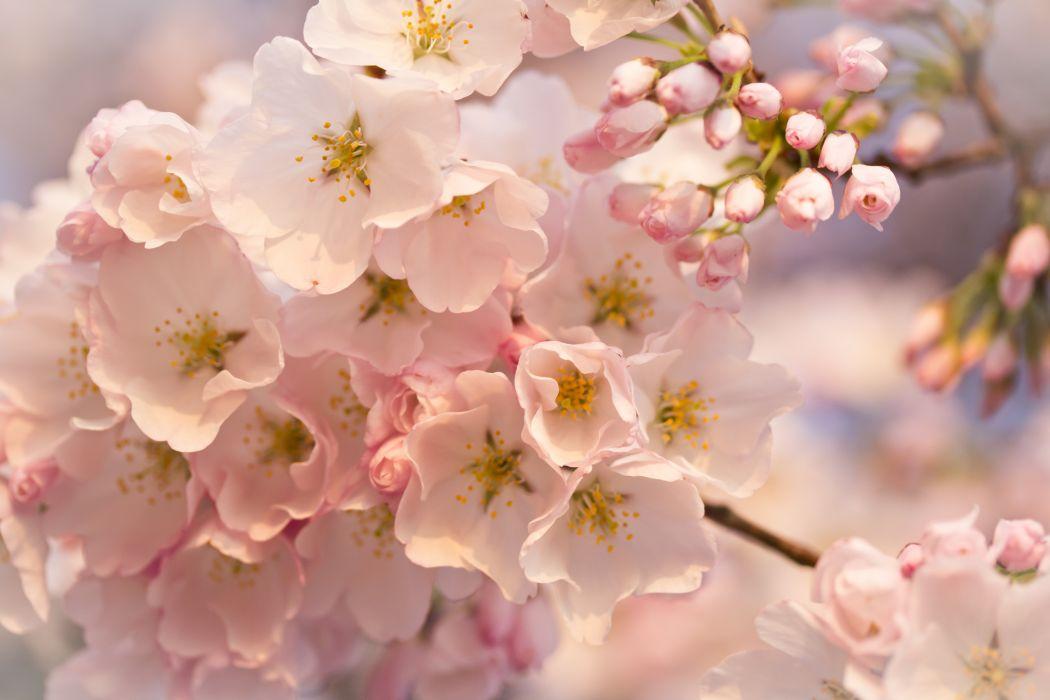 beauty bloom blur bokeh branch cherry cherry blossom flower flowers focus leaves light macro natural nature photography pink sakura spring wallpaper