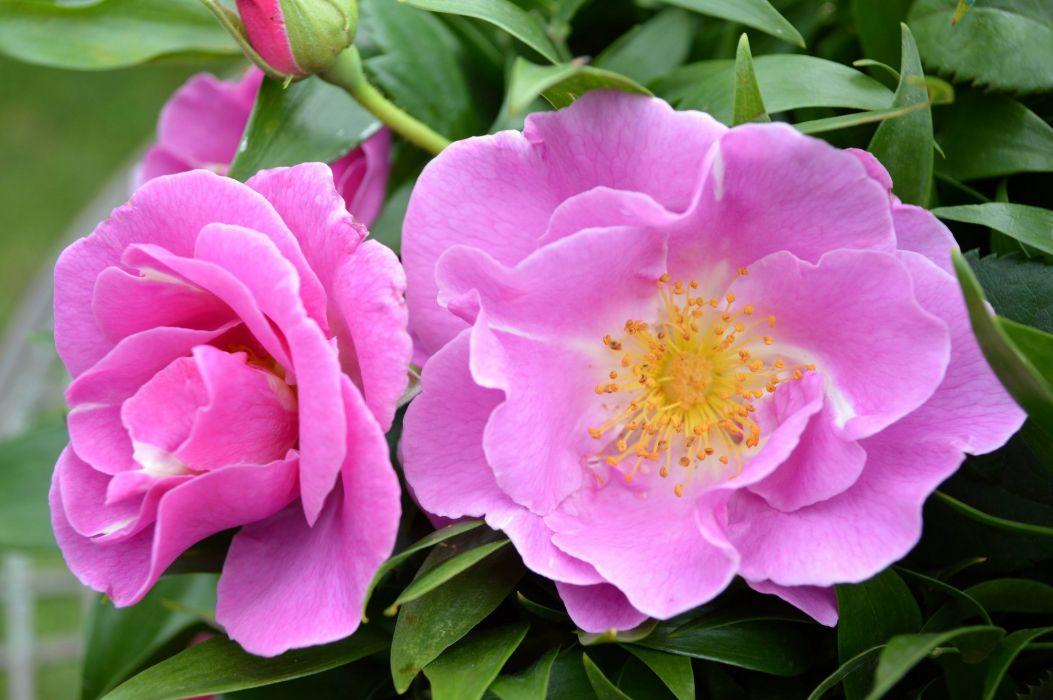 bud color Eyes for you flower fresh garden leaves morning nature petals photo pink plant rose winter wallpaper