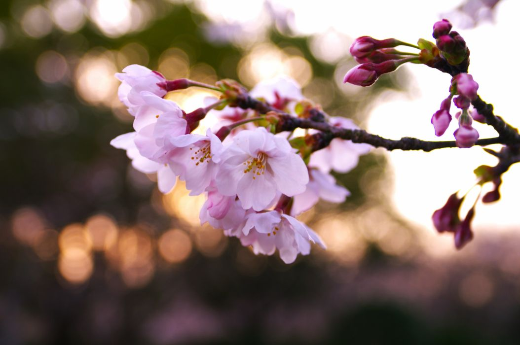 branch cherry flowers leaves macro nature background nature wallpaper pink spring wallpaper
