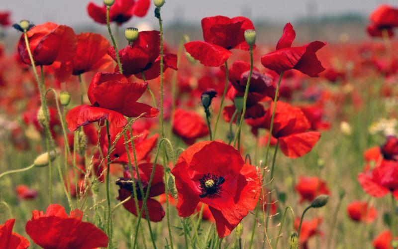 flowers beautiful bloom bud field meadow poppies poppy poppy field red spring Summer sunshine Wild flowers wallpaper