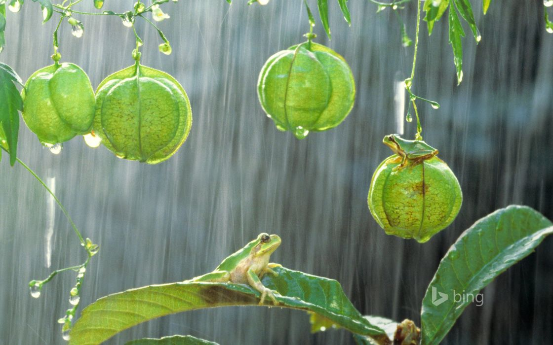 desktop forest free frog green Hyla japonica Japanese tree frog nature plant shower rain tropical Tropical rainforest wet wallpaper