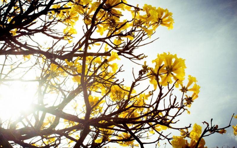 flowers nature bloom photography sunshine tree yellow wallpaper