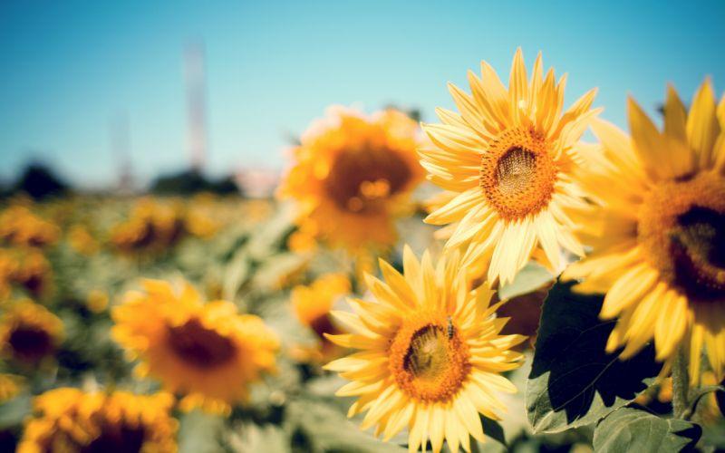 Cute field flowers happy nature photography Summer sun sunflower sunshine warm yellow wallpaper