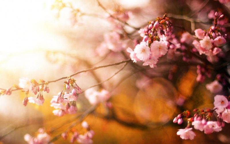 nature cherry close-up flowers hd petals pink sunshine wallpaper