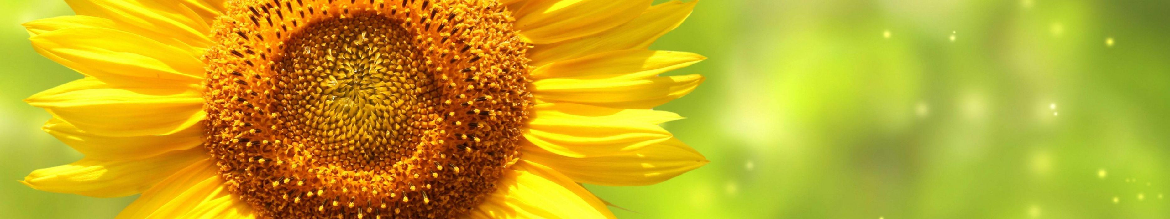 fleur flower sunflower wallpaper