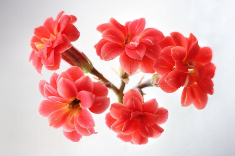 kalanchoe flowers red blossom spring wallpaper