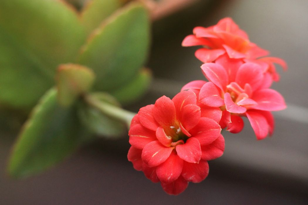 kalanchoe flowers blossom spring plant macro red wallpaper