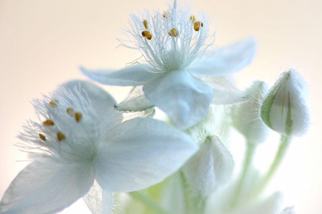 Tradescantia flowers blossom macro plant wallpaper
