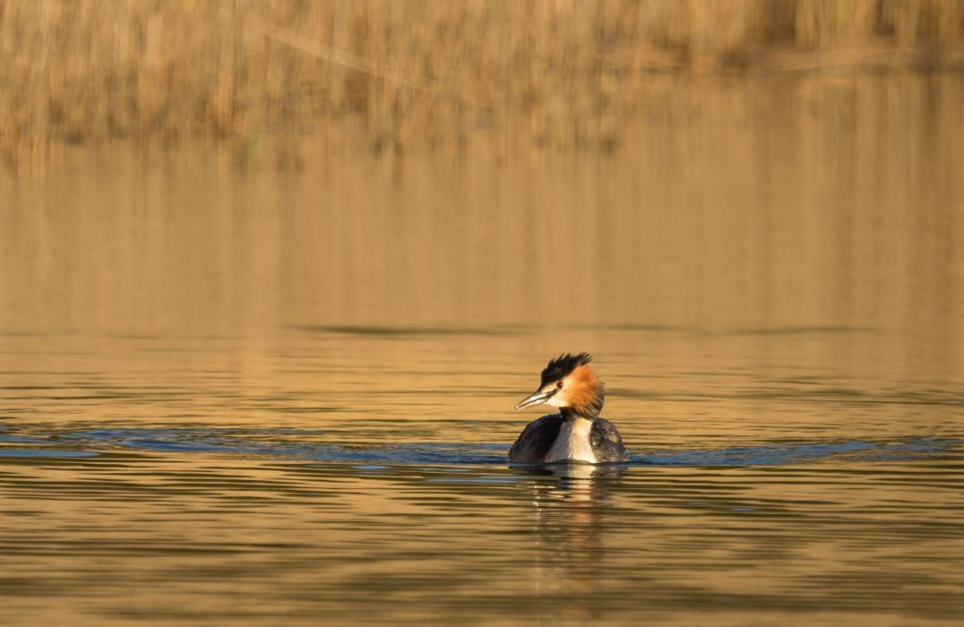 animals birds grebe wallpaper