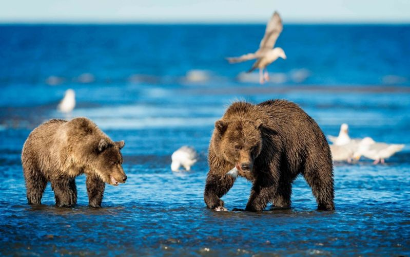 animals bear g wallpaper
