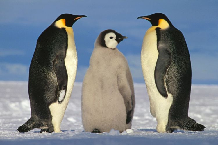 animals birds penguin wallpaper