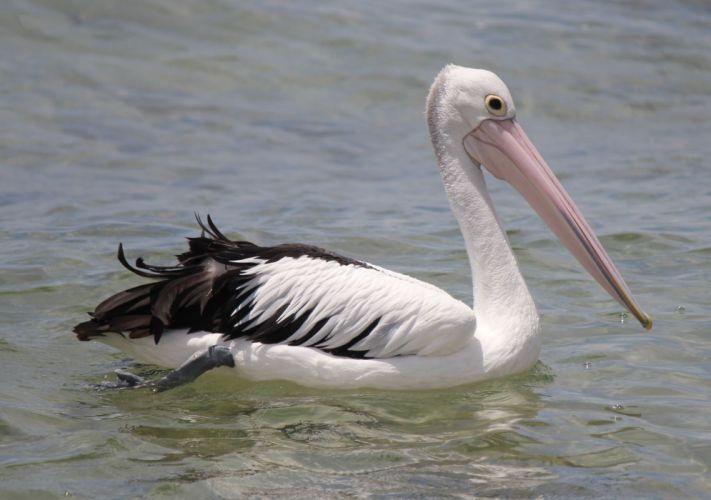 animals birds pelican wallpaper