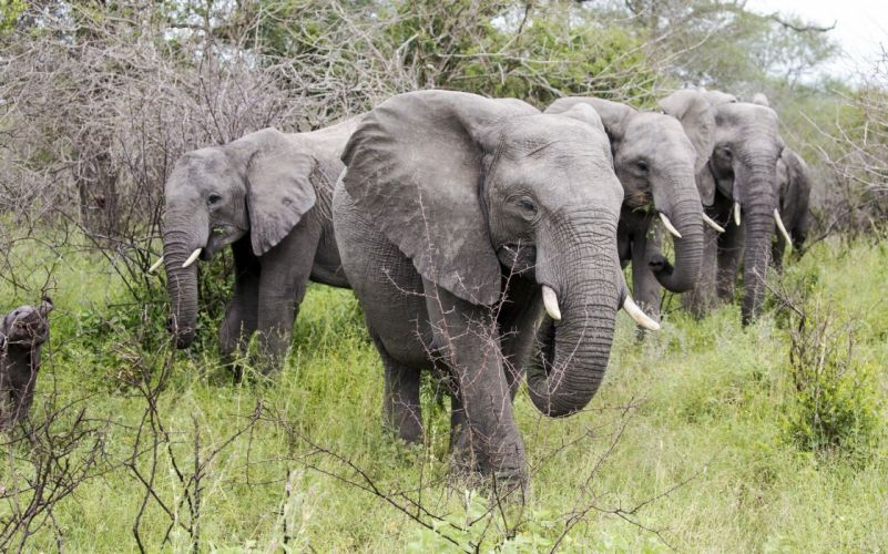 animals elephant h wallpaper