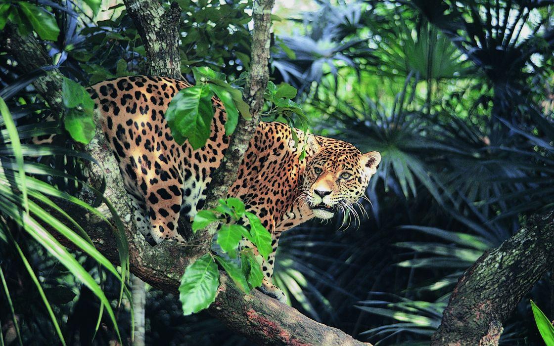 animals jaguar forest g wallpaper