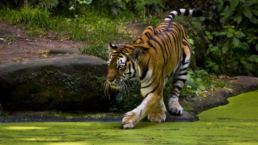 animals tiger h wallpaper