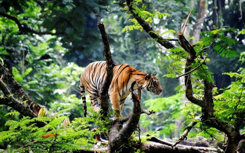 animals tiger g wallpaper