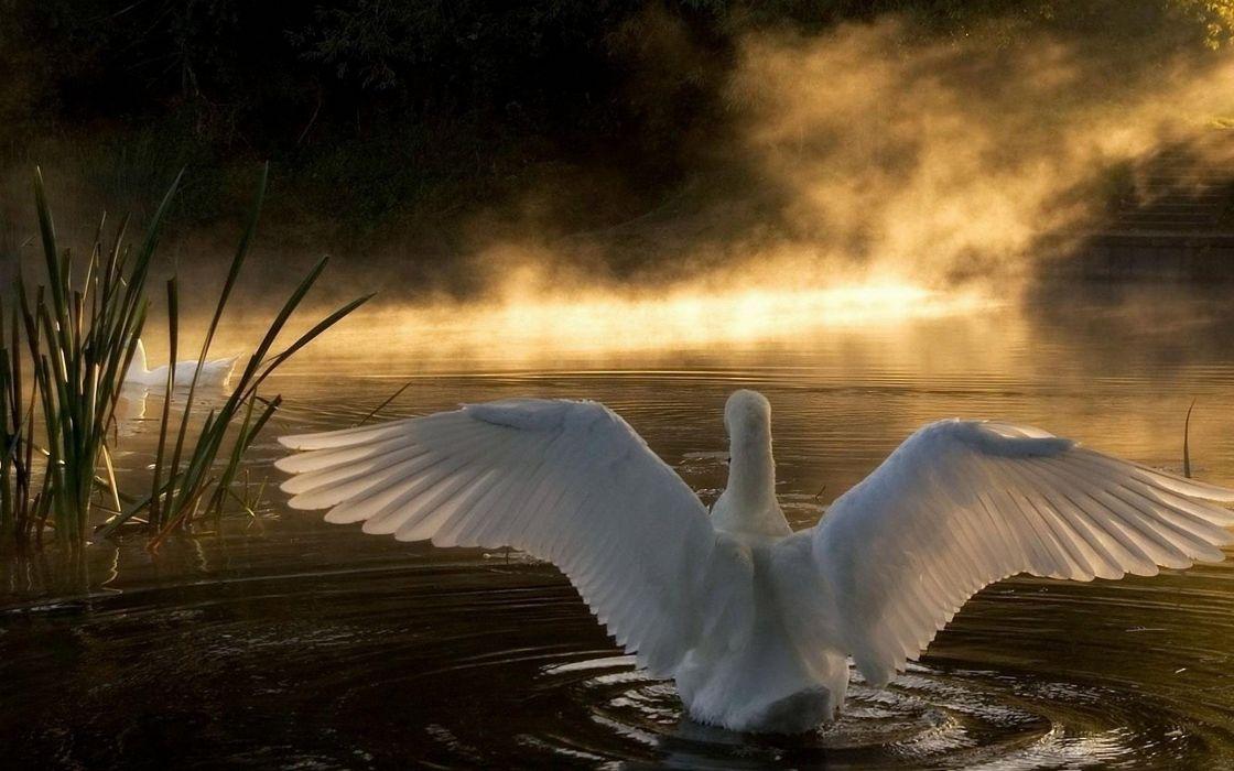 swan lake nature wallpaper