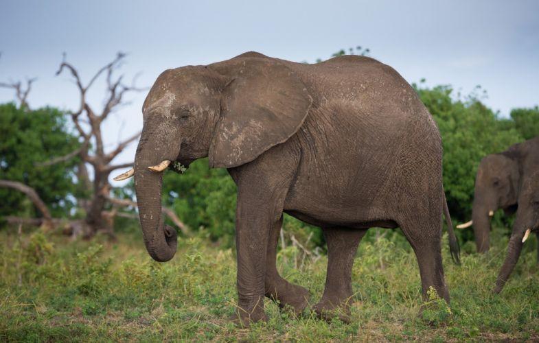 animals elephant c wallpaper