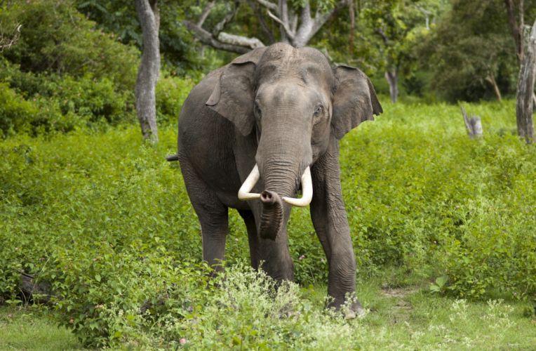 animals elephant f wallpaper