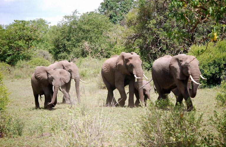 animals elephant g wallpaper