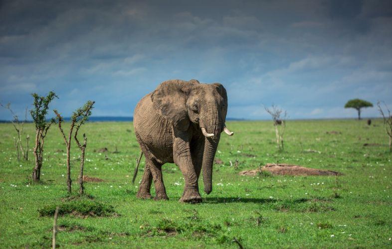 animals elephant b wallpaper