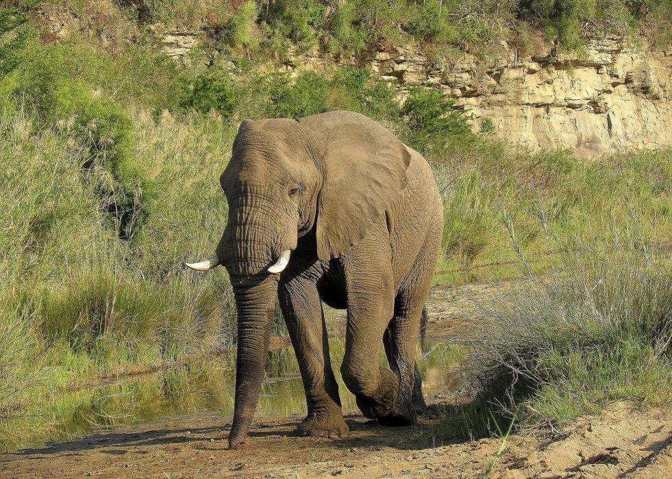 animals elephant t wallpaper