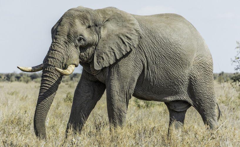 animals elephant d wallpaper