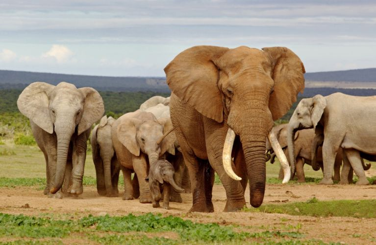 animals elephant f wallpaper