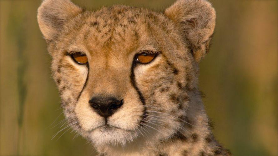 cheetah eyes close-up Savannah wallpaper