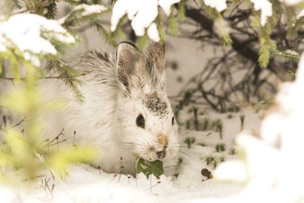 animal bunny hare rabbit wallpaper