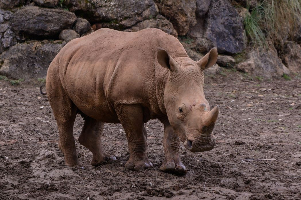animal rhino wallpaper