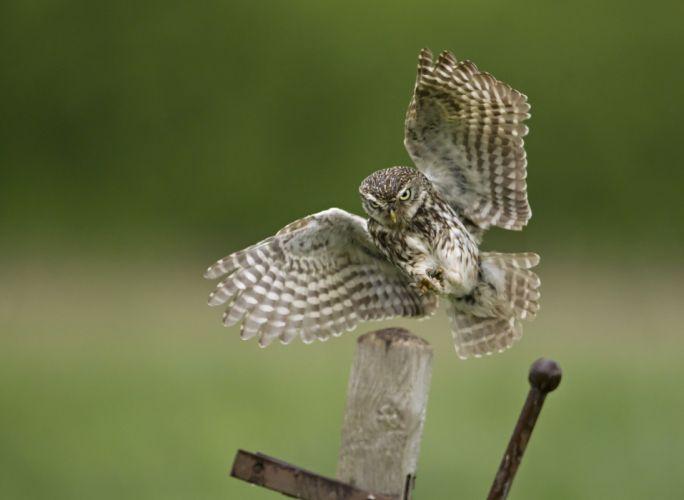 owl bird wallpaper