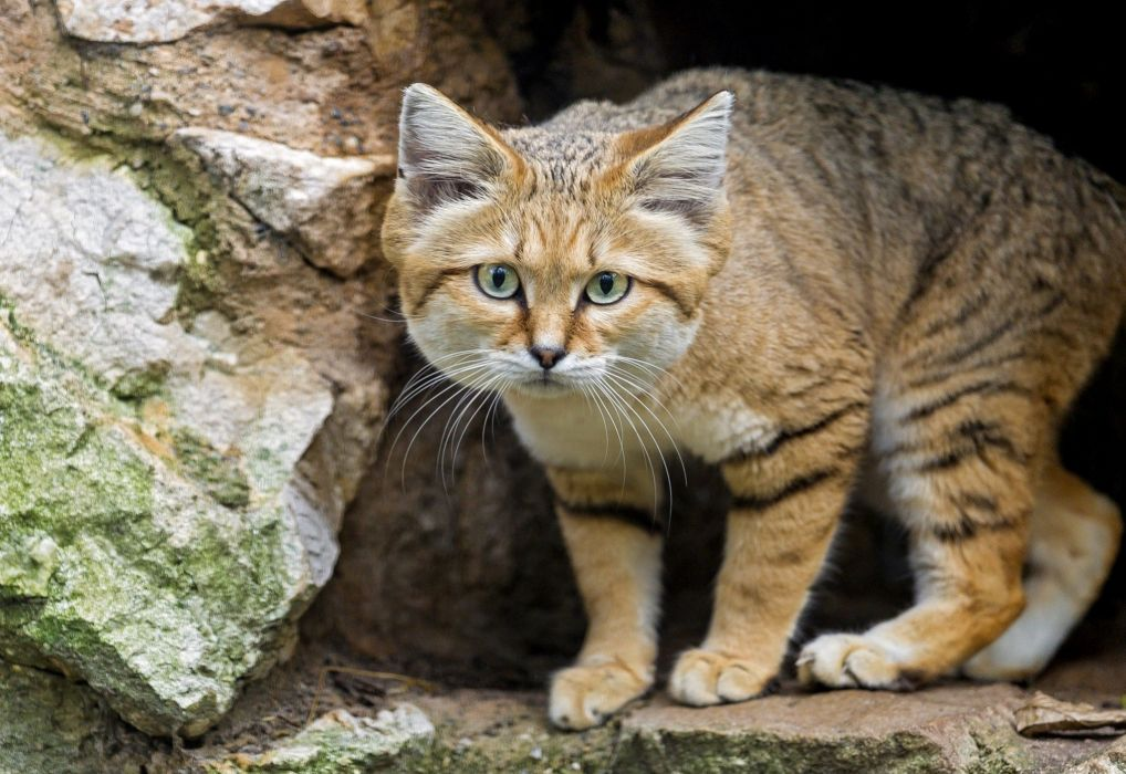 animals sand cat wallpaper